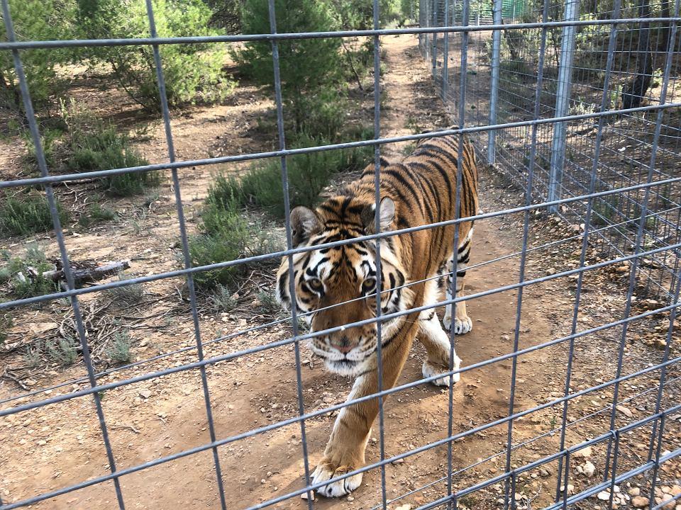 Uratowane Tygrysy W Hiszpanii To Był Piękny Widok Gdy Po