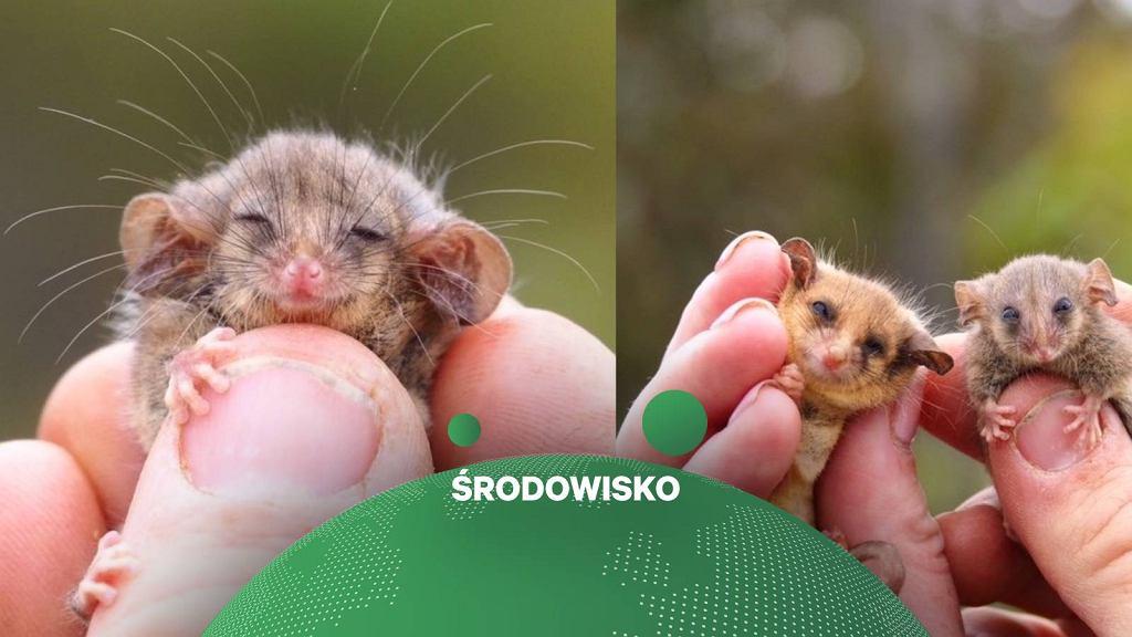 Mały opos karłowaty znaleziony przez ekologów na Wyspie Kangura w Australii.