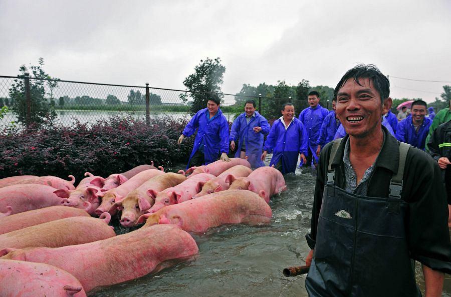 Świnki uratowane! - radość hodowców jest wielka