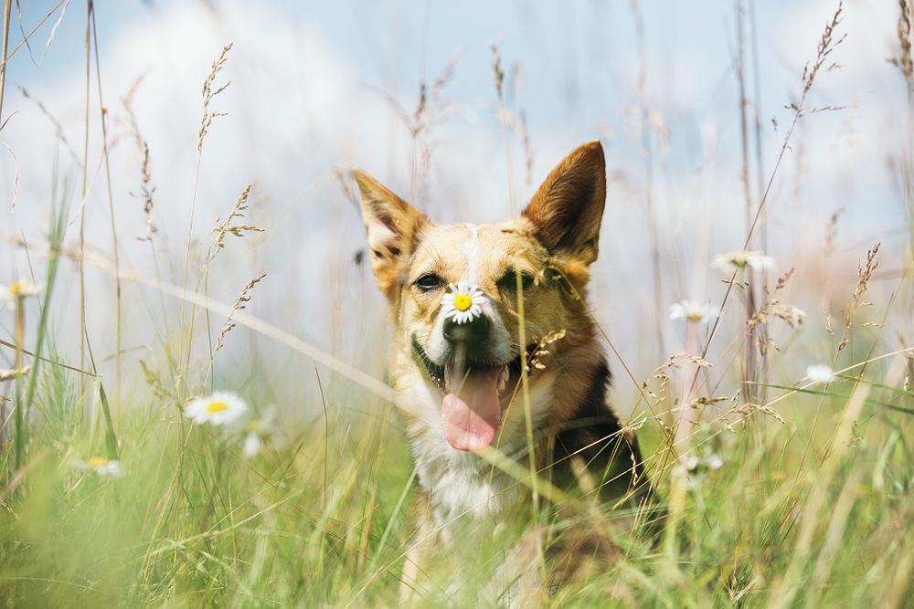 Rośliny trujące dla psów - lista i zdjęcia. Jakie kwiaty są bezpieczne dla psa? Zdjęcie ilustracyjne