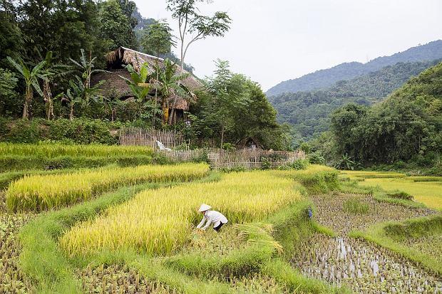 Pole ryżowe w Wietnamie (fot. Trangiap/istockphoto)