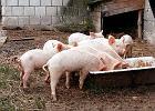Sąsiad gotował kartofle dla świń, chciałem zostać jedną z nich