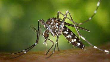 Komar tygrysi. Zdjęcie ilustracyjne