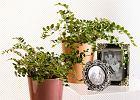 Rośliny doniczkowe: paprocie