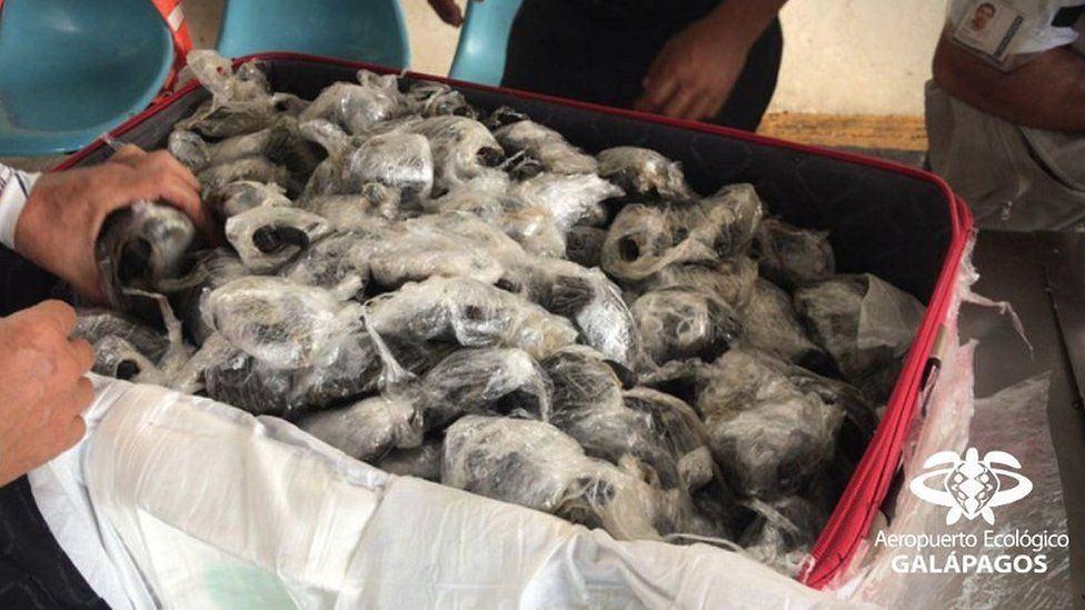 W walizce odkryto 185 żółwi