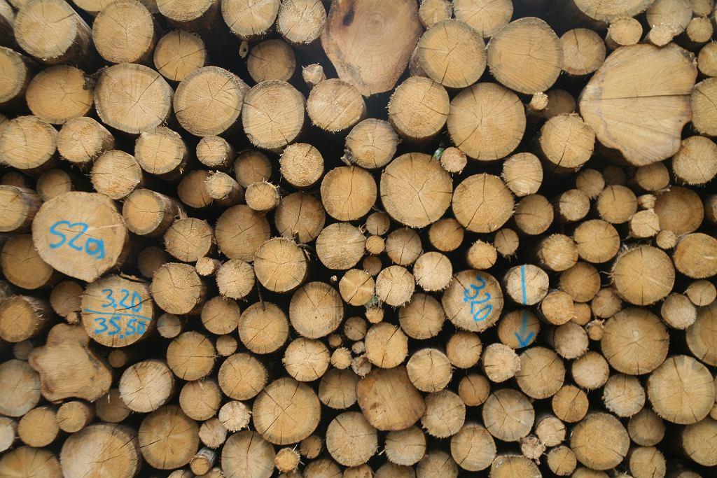 Puszcza Białowieska. Wyręb drzew w okolicy Czerlonki