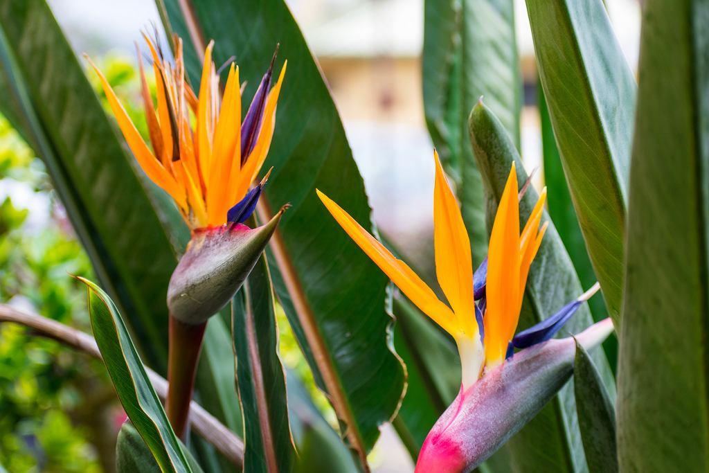 Strelicja posiada bardzo efektowne kwiaty. Zdjęcie ilustracyjne