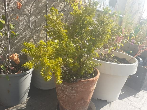Cis pospolity rośnie już siódmy rok na moim balkonie. Nie przycinam, więc fajnie rozrasta się na boki.