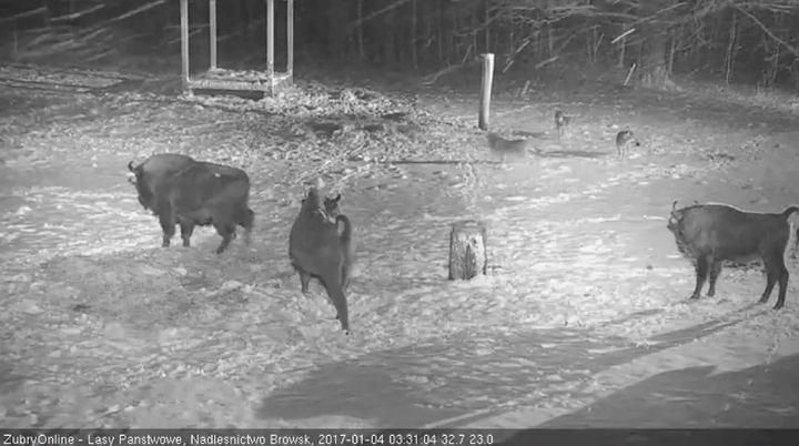 Żubry zostały zaatakowane przez wilki