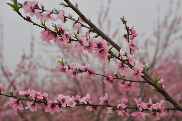 kwiat brzoskiwni