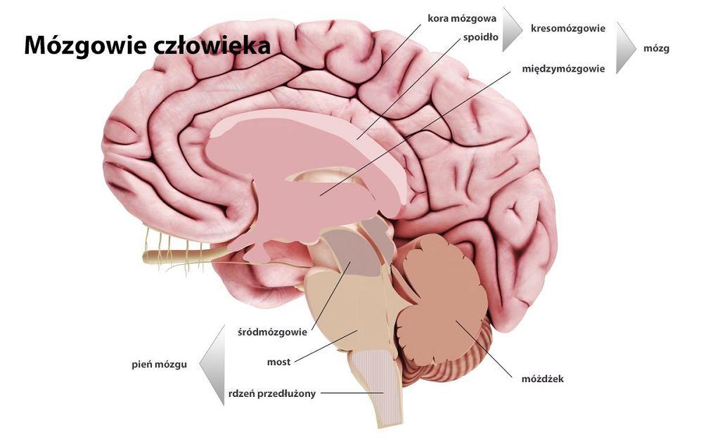 Śródmózgowie łączy się z móżdżkiem i rdzeniem przedłużonym oraz z międzymózgowiem. U człowieka to przede wszystkim ośrodek reakcji wzrokowych