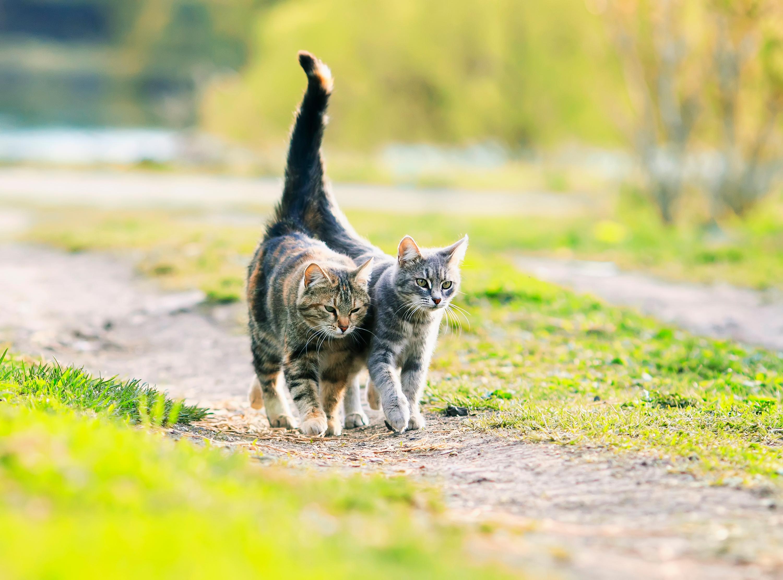 Samica kota bez bodźca bólowego nie uwalnia komórek jajowych (fot. Shutterstock)