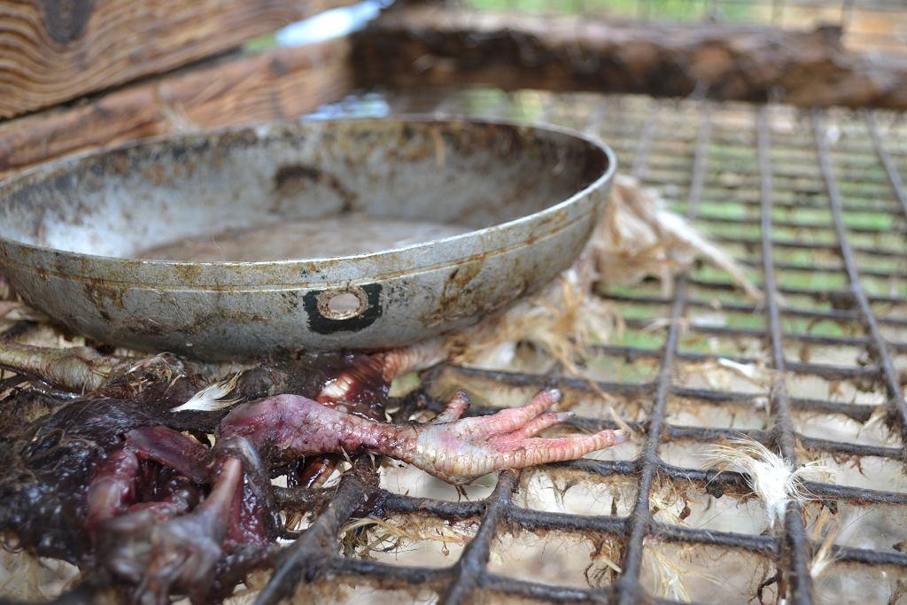 Norki żywią się mięsem.