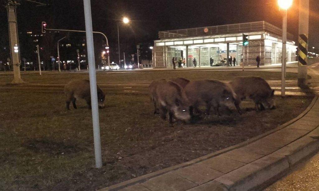 Dziki przy wyjściu ze stacji metra Młociny