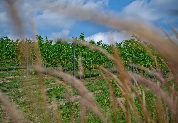Winnica Płochockich w Darominie pod Sandomierzem
