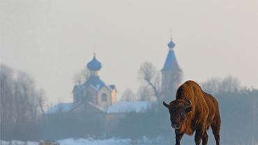 Żubr na tle cerkwi w Łosince