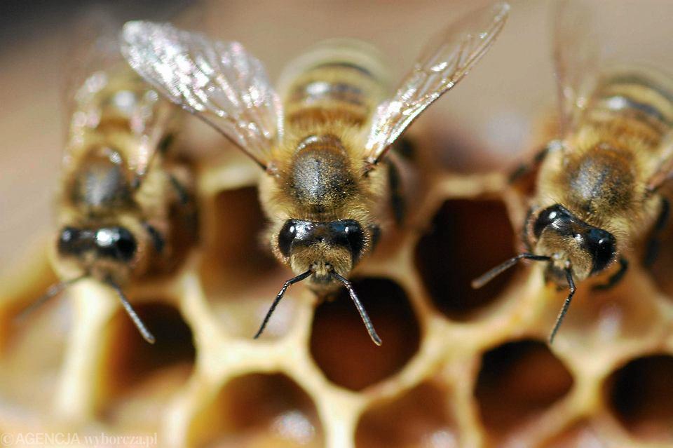 Nieuleczalna choroba atakuje pszczoły. Weterynarz: 'Jedyne wyjście to spalić rój'. 11 ognisk w Łódzkiem
