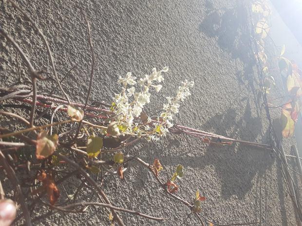 Rdestówka już o tej porze powoli traci liście. Oprócz kilkumetrowym przyrostów, fajnie jest w niej to, że od wiosny do jesieni potrafi kwitnąć.