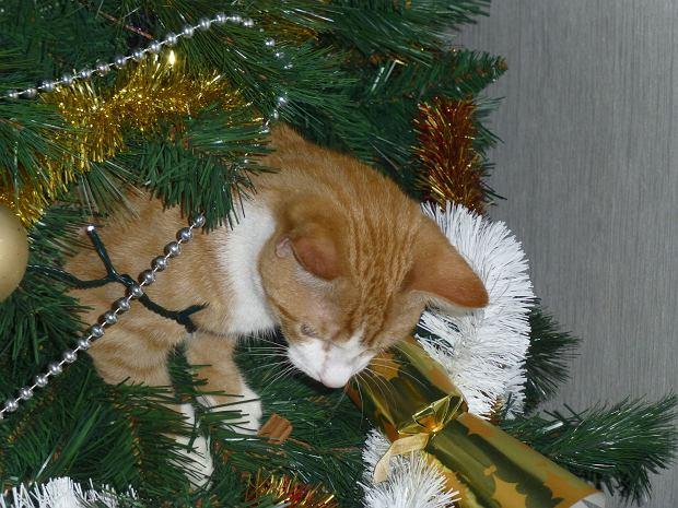 Marzysz o pięknej choince na święta, ale masz kota? Podpowiadamy, jak to ze sobą pogodzić