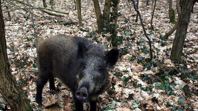 20 padłych dzików w lasach w powiecie wschowskim. Będą przebadane pod kątem ASF