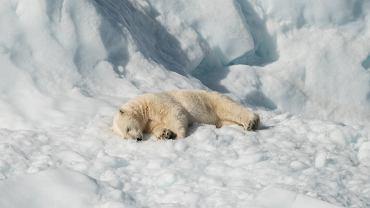 Niedźwiedzie polarne stały się symbolem walki z ociepleniem klimatu