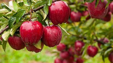 Drzewa owocowe. Które warto posiadać w swoim ogrodzie? Zdjęcie ilustracyjne