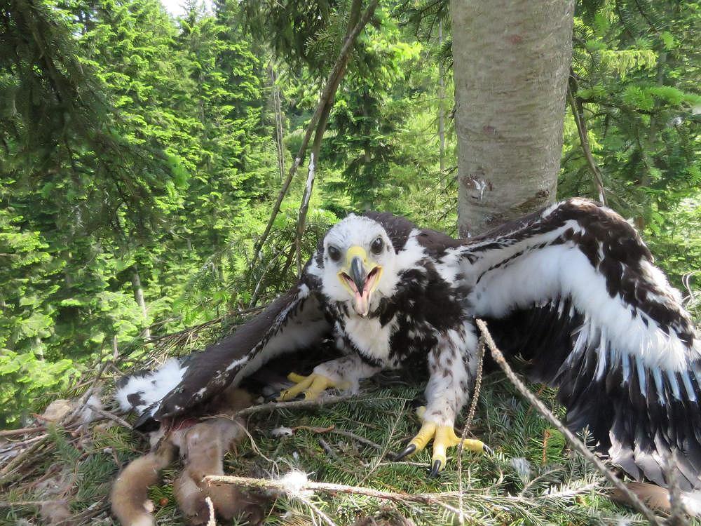 Gniazdo orła przedniego zniszczone przez wichury. Odbudował je znany ornitolog