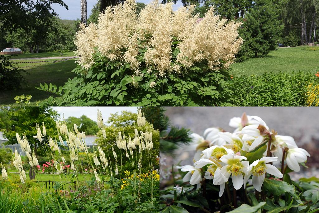 Kwiaty wieloletnie do ogrodu - parzydło leśne, świecznica groniasta, ciemiernik