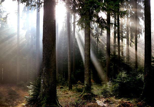 Niemcy mają problem z lasami. Drzewa niszczy susza, pożary i kornik.