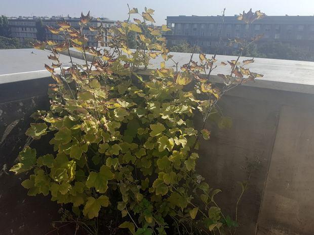 Rośliny na balkon. Polecam porzeczkę, można podjadać owoce kilka miesięcy!