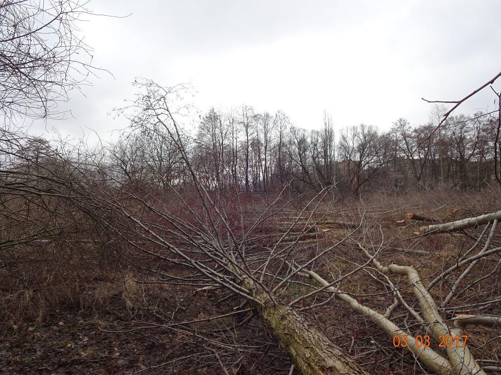Masowa wycinka drzew w Pruszkowie