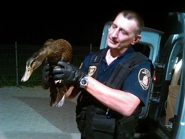 Osierocone gąski i kaczka uciekinierka trafiły w weekend do Ptasiego Azylu.