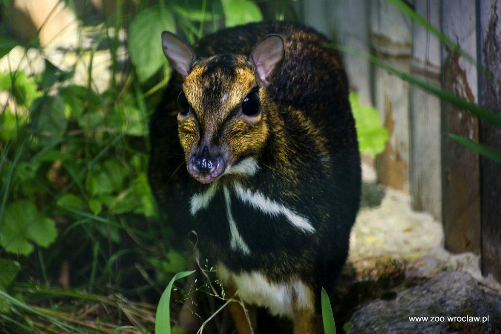 Tak wygląda dorosły osobnik kanczyla filipińskiego.