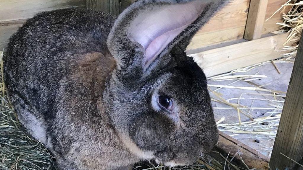 Najdłuższy królik na świecie o imieniu Darius został skradziony