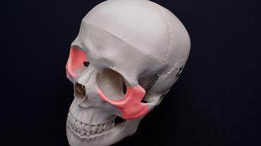 Kość jarzmowa jest częścią czaszki, która usytuowana jest w bocznej części twarzy. Między innymi od jej ułożenia zależy kształt twarzy.