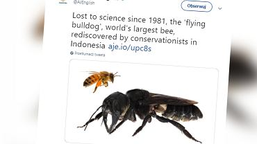 'Latający buldog'. Naukowcy znaleźli pszczołę-giganta