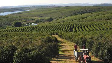 Brazylia, plantacja kawy