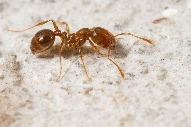 Po ugryzieniu mrówki na skórze pojawiają się wykwity przypominające pokrzywkę oraz pęcherzyk z zaczerwienieniem wokół