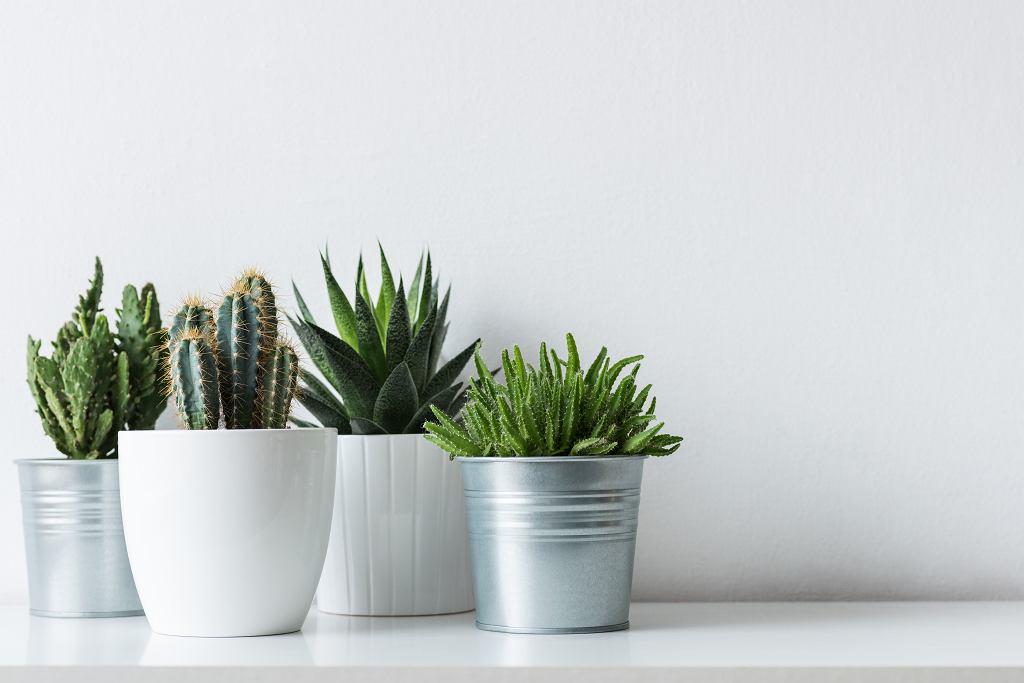 Rośliny doniczkowe łatwe w uprawie? Zacznij od kaktusów lub sukulentów