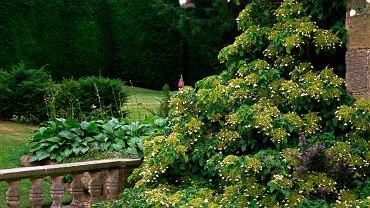Kwiaty pnące - hortensja. Zdjęcie ilustracyjne