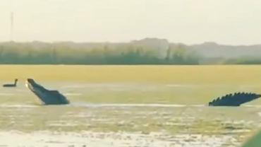 Ogromny aligator zaobserwowany przez mieszkańców USA.