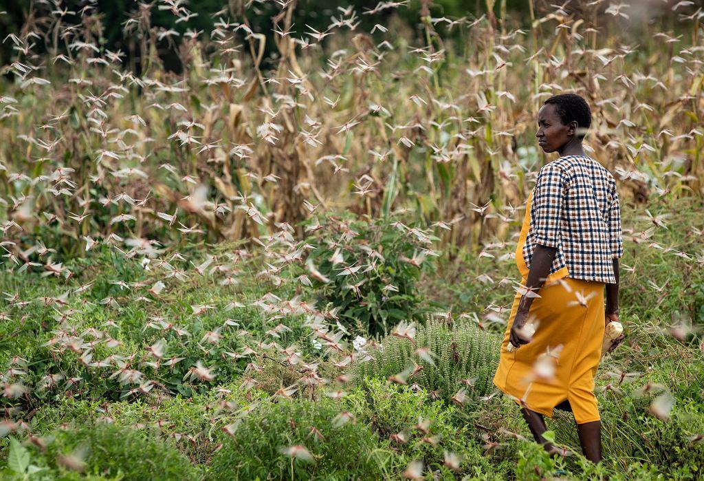 Plaga szarańczy w Afryce. Owady pożerają uprawy, co może skutkować klęską głodu