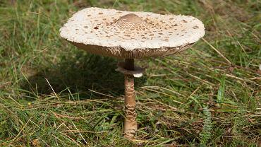 Kania (czubajka kania) to gatunek grzybów zaliczany do rodziny pieczarkowatych. Polska nazwa tego grzyba nadana została pod koniec XIX wieku