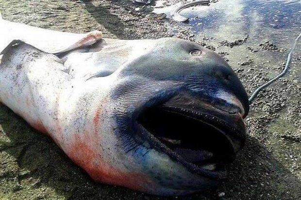 Rzadki okaz ''potwora z głębin'' - rekin wielkogębowy na filipińskiej plaży