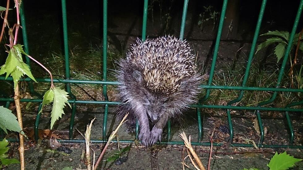 Patrol Eko uwolnił jeża, który utknął w ogrodzeniu.