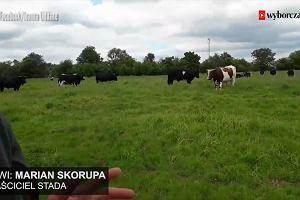Krowy z Ciecierzyc unikną rzezi? Właściciel stada: Są dla mnie jak własne dzieci