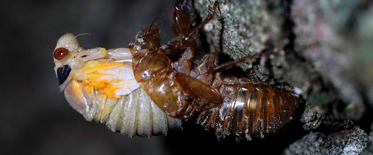 USA. Po 17 latach pod ziemią miliardy owadów wyjdą na powierzchnię