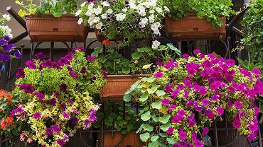 Wytrzymałe kwiaty na balkon