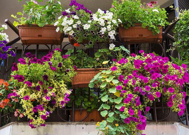 Wytrzymałe rośliny na balkon - jakie wybrać?