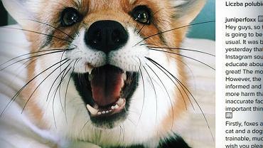 Poznajcie lisiczkę Juniper